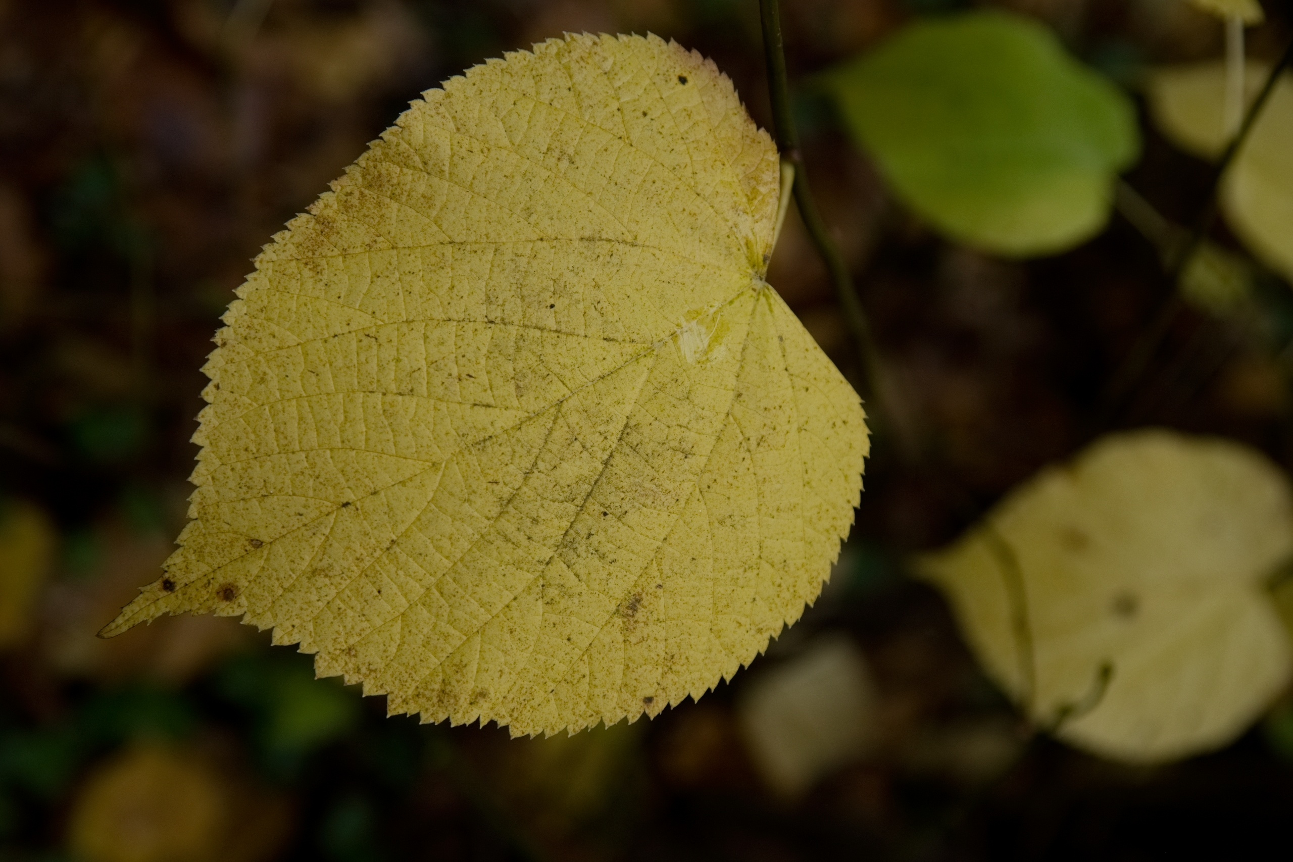 Yellow leaf, ready to fall